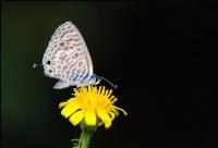 Mavi Zebra  ( 3 )