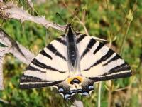 Dikendeki Kelebek