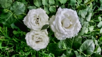 Beyazgüller.