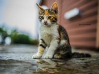 Karizmatik Kedi