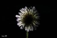 Çiçek Tutulması