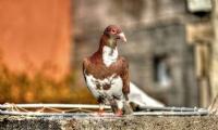 Güvercinika