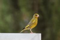 Florya Kuşu