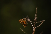 Kelebek