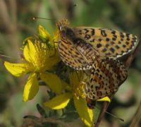 Kelebekler Çiftleşirken
