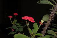 Kırmızı Çiçeğim