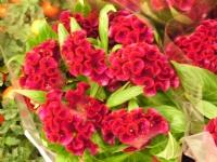 Kadife Çiçekk