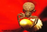Cambaz (xysticus Bifasciatus)