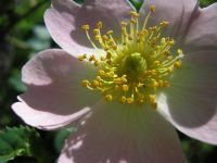 Kuşburnu (rosa Canina)