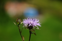 Yayla Çiçegi