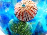 Echinoidea