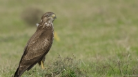Şahin - Buteo Buteo » Common Buzzard