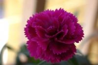 En Güzel Çiçek En Tez Solandır.