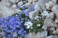 Taşta Açan Kur Çiçekleri