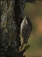 Bahçe Tırmaşıkkuşu Short-toed Treecreeper / Certhi