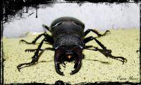 İri Böcek