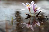 Su Çiçeği