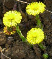 Topraktan Fışkıran  Sarı Çiçekler