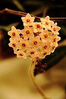 Mum Çiçeği