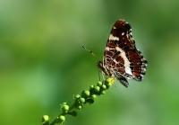 Isırgan Kelebeği ( 2 )