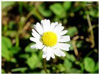 Elevitin Çiçekleri