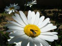Papatya Ve Böcek