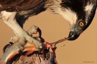 Balık Kartalı/osprey