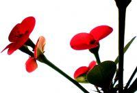 Euphorbia Milii (dikenli Taç)