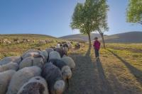 Küçük Çoban