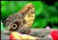 Kelebek-5