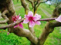 Bursa Şeftali Çiçeği