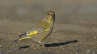 Florya » Carduelis Chloris » Greenfinch