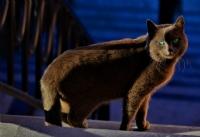 Panter Görünümlü Kedi