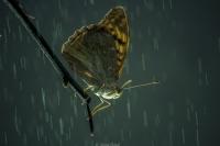 Butterfly Rain..