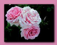 En Sevdiğim Güller....