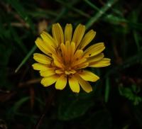 Sarı Çiçek..