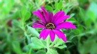 Darıldım Çiçeği