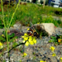 Arı..