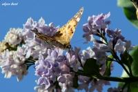 Kelebek Ve Çiçekler