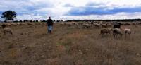 Çoban Ve Sürüsü