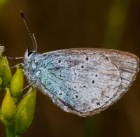 Kutsal Mavi Kelebek