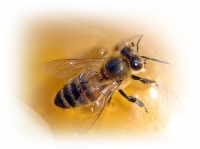 Arı Ve Bal