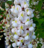 Akasya Ağacı Çiçeği