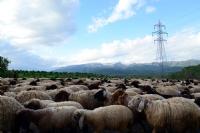 Şırnak Koyunları, Doğası