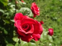 Mayıs Gülleri