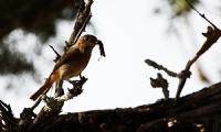 Av Mevsimi Başlamış(kızılkuyruk)