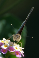 Diken Kelebeği