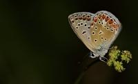 Kelebekler Zariftir