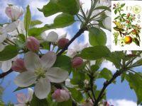 Elmalar (malus)