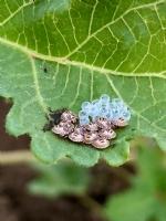 Uğur Böceği Yavruları